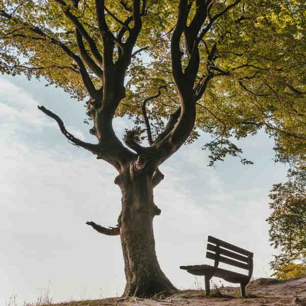 Large tree and bench